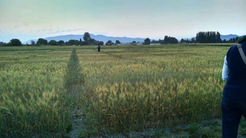 plots of wheat trials